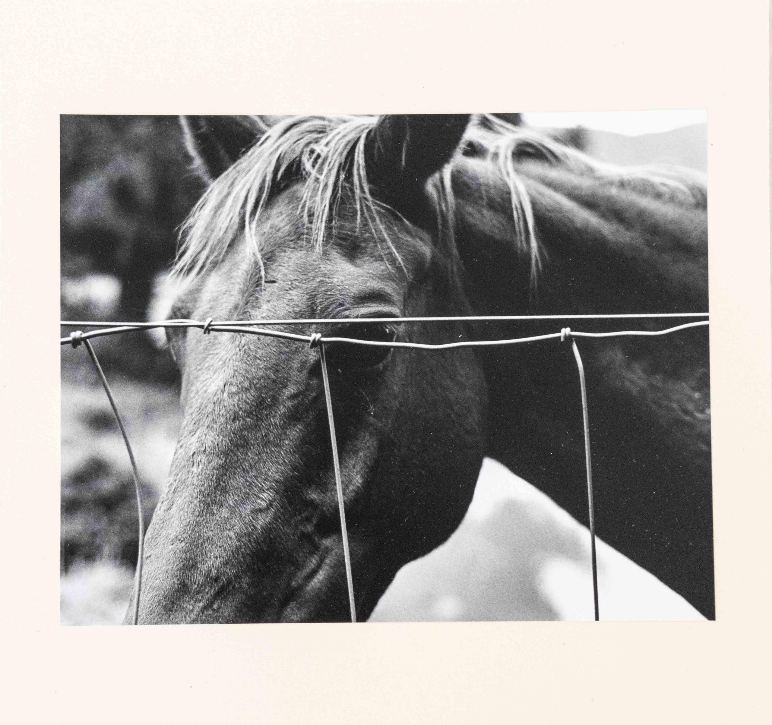 Silentes Loquimur cavallo